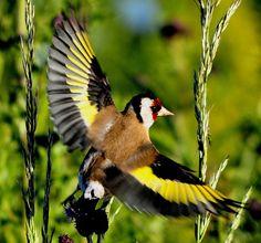 (European) goldfinch