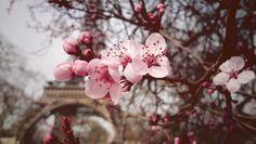 paris and cherry blossom