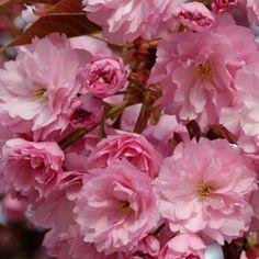 42 Meilleures Images Du Tableau Plantes Pour Jardin Japonais Fit