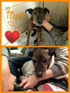 1/20/16 UPDATE ON TIGER: 1/2:17 year old Tiger from East Valley Shelter made it safely to San Diego Bay Animal Hospital and FFF Headquarters tonight! Results from his senior panel will be in tomorrow and we did X-rays that showed severe arthritis, but moreso, spaces between his discs indicating that his stiff gait is primarily from back pain. Doc likes to use Prednisone to relieve back pain and we will use Tramadol when needed. He has a slight heart murmur, bad teeth, but everything else is…