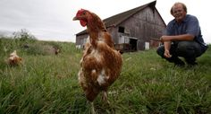 Some people raise chickens in Iowa. They are generally free-range and produce farm-fresh eggs.