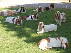 Can you imagine waking up to find 50 bassets relaxing in your yard?!