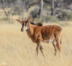 Sable calf. Northern Cape, South Africa