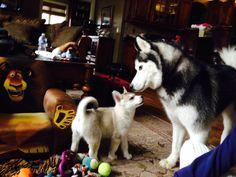 Malamute Husky, Husky Husky, Doggies, Dogs And Puppies, Cute Husky, Snow Dogs, Siberian Huskies, Australian Shepherd, Exotic Pets