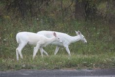 """Prophesy of the White Deer      Native Americans have a long history of respect for white deer which are sometimes referred to as the 'ghost deer.' The Lenape Indians have a white deer prophesy. Here is an oral translation of that prophesy.    """"It has long been predicted that there would come a time when a white male and female deer would be seen together, and that this would be a sign to the people to come together.'    Let's hope this prophesy rings true."""