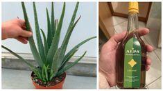 BeFunky-collage33-1024x573-623x350 Aloe Vera, Health Advice, Herbs, Plants, Herb, Plant, Planets, Medicinal Plants