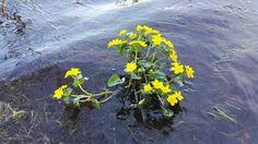 #kukkia järvessä #flowers in lake