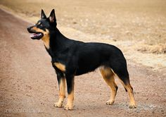 Kelpies - a bit of info about the breed