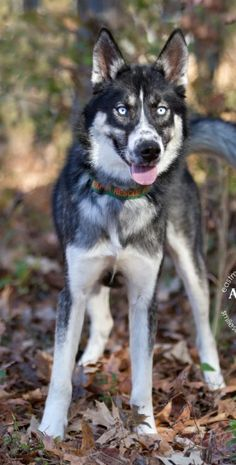 Klaus is crowd stopper for sure. His gorgeous blue eyes and stunning appearance always have folks stopping to give him a pat. Large Dogs, Small Dogs, Dog Activities, Outdoor Activities, Batman Dog, People With Blue Eyes, Bat Animal, Cute Animal Pictures, Dog Memes