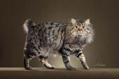 Learn everything about American Bobtail Cats. Find all American Bobtail Cat Breed Information, pictures of American Bobtail Cats, training, photos and care tips. Animals Are Beautiful People, Beautiful Cats, I Love Cats, Cool Cats, Pixie Bob Cats, Cat Exercise Wheel, American Bobtail Cat, Super Cute Animals, Cute Kittens