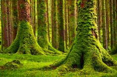 Green-Moss carpeting the forest floor and the tree-trunks