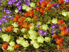 The wild flowers of Namaqualand. Orange flowers: Dimorphotheca sinuata (Local Name: Namaqua Daisies) Light Yellow flowers: Grielum humifusum (Local Name: Pietsnotjie) Purple flowers: Drosanthemum flo