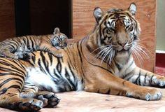Sumatran tiger cub mom at the San Francisco Zoo (WildWed): Doesnt get cuter than this! I Love Cats, Big Cats, Cool Cats, Tiger Moms, San Francisco Zoo, Zoo Photos, Tiger Cub, Maltese Dogs, Cute Baby Animals