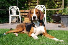 Hamiltonstövare (Hamiltonstovare), Hamilton Hound, Swedish Foxhound #Dogs #Puppy