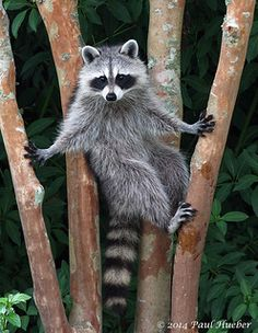 Raccoon (Procyon lotor) | Flickr - Photo Sharing! Racoons may not be Canids but they are often varmints.