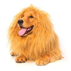 Lion Mane for Dog, Dogloveit Dog Costume with Gift [Lion Tail]. Lion Wig for Dog Large Pet Festival Party Fancy Lion Hair Dog Clothes Dress. your best bet is to buy a Lion Wig for him out of many pet supplies. Last Minute Halloween Costumes, Fancy Costumes, Pet Costumes, Costume Halloween, Halloween 2017, Costume Ideas, Halloween Party, Costume Wigs, Easy Halloween