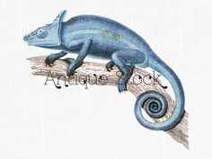 Parson's Chameleon Image - Blue Chameleon Drawing - Zoology Reptil Illustration by Antique Stock