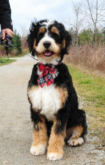 I found my new favorite dog! The Bernedoodle!