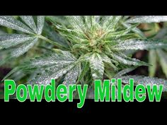 How to Identify powdery mildew, treat and prevent powdery mildew in your grow room. what doe spowdery milde wlook like? Powdery mildew can be detected by the. Powdery Mildew, Music, Youtube, Musica, Musik, Muziek, Music Activities, Youtubers, Youtube Movies