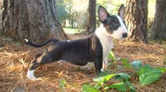 Bullies of NC #bullterrier #puppy #dogs