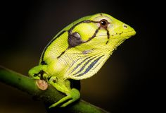 Polychrus marmoratus (Polychrotidae) or commonly referred to as the Common Monkey Lizard or Many-colored Bush Anole Geckos, Types Of Animals, Animals And Pets, Lizard Terrarium, Little Critter, Vertebrates, Reptiles And Amphibians, Patterns In Nature, Animal Pictures