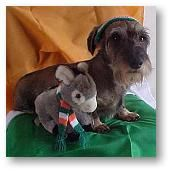 Pokey of Hamilton, New Zealand  (OMG What is this little guy?!!! A Schnoxie? :P Schnauzer Doxie? Cutie!)