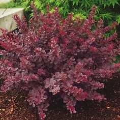Barberry 'Royal Burgundy' or any red barberry is another colorful foliage addition to your yard. Garden Shrubs, Flowering Shrubs, Succulents Garden, Garden Plants, Outdoor Planters, Outdoor Gardens, Deer Proof Plants, Grass Alternative