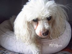 URGENT **BLIND**  SWEET SENIOR OWNER DIED** A4458841 My name is Sassy. I am a sweet 10 yr old spayed female white Min. Poodle mix. I am blind. My person died and I ended up here on July 7. AVAILABLE FOR ADOPTION NOW! Baldwin Park Shelter, CA