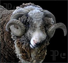 Photo of A black and white merino ram layered on black.  He has large culy horns