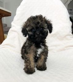 Shorkie Puppies For Sale Shorkie Puppies Shorkie Puppies For