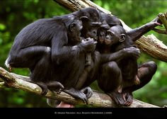 Bonobos - our closest relatives.  There's no moral difference between the animals, birds, fish, and insects we hunt, those we use for entertainment, those we kill for food and use as commodities, and those we love as members of our families. All animals, birds, fish and insects are sentient and have a right to live. Go vegan and stay vegan for them. It's the least we can do. Start here: www.befairbevegan.com Adopt, spay and neuter your companion animals!