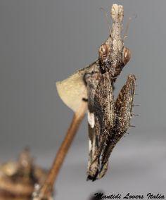 Gongylus gongylodes, femmina subadulta - Copyright