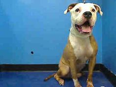 SNOOPY is an adoptable Pit Bull Terrier Dog in New York, NY.  ...