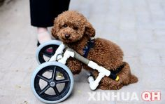 Dog in China named Chanel has a wheelchair to replace his two front legs :)