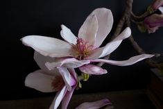cold porcelain flowers Cold Porcelain Flowers, Magnolia, Polymer Clay, Plants, Flora, Plant, Planting