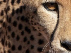 Wall Prints, Cheetah, Panther, Earth, World, Animals, Beautiful, Ideas, Design