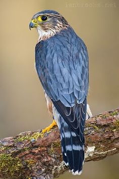 A Merlin (Falco columbarius) Another very small Falcon common in mountainous areas in Europe.