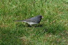 The Dark-eyed Junco - Female
