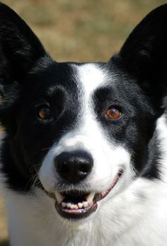 Meet Cody a Petfinder adoptable Border Collie Dog | Laconia, IN | Cody is a 3 to 5 year old Border Collie that is in need of finding his forever home. He is very...