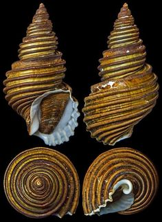 Ancistrolepis grammatus (Dall, 1907)  -  C.Chen Ribbed classic software ice cream seashell shape
