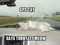 GPS cat says turn left right MEOW...