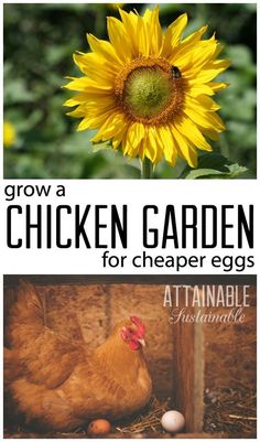 Raising chickens on the cheap. Growing feed for your hens to cut homestead costs? Plant a chicken garden! Growing Chicken Feed, Chicken Runs, City Chicken, Chicken Lady, Chicken Heart, Portable Chicken Coop, Diy Chicken Coop, Chicken Feeders, Keeping Chickens