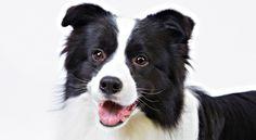 Border Collie Dog Breed Information - American Kennel Club
