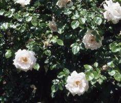 New Dawn' is in 1930 op de markt gebracht en is een van de eerste rozen waarop een patent is verleend.