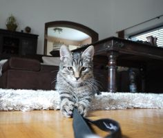 #Tiger loves to #play with the #camera strap. So Cute! #cats #part2