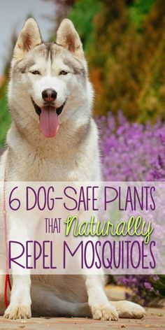 6 Dog-Safe Plants That Naturally Repel Mosquitoes