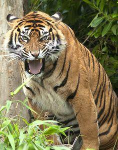 Sumatran Tiger - http://www.1pic4u.com/blog/2014/12/30/sumatran-tiger-23/