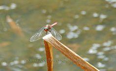 Snapshots of Beauty: dragon fly at Ewan Maddock Dam