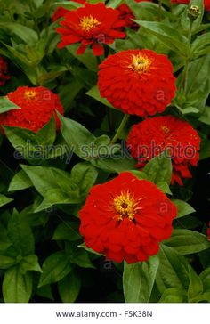 Close-up Of Red Zinnias Stock Photo, Picture And Royalty Free . Heartfelt Creations, Zinnias, Red Flowers, Close Up, Royalty, Stock Photos, Illustration, Garden, Plants