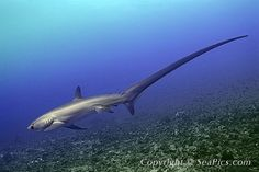 Thresher Shark - One of my favorite creatures in the whole world.